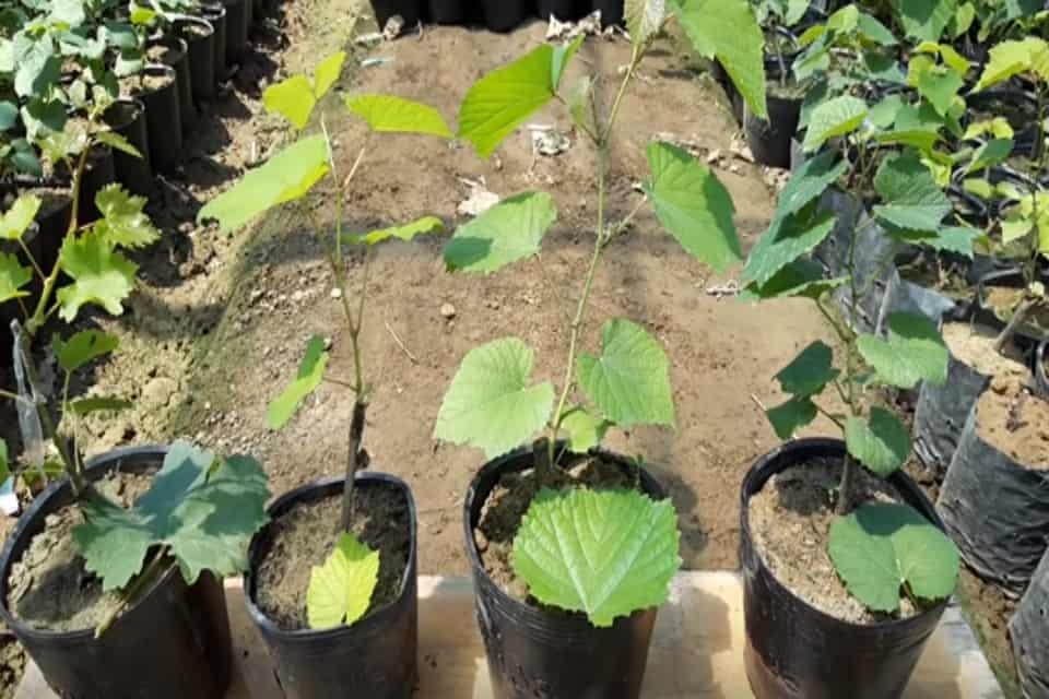 Các giống nho trồng miền bắc
